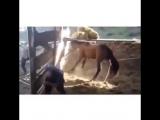 Казакша прикол 🐎 Асау айғыр жігіттің басынан тепті 2015