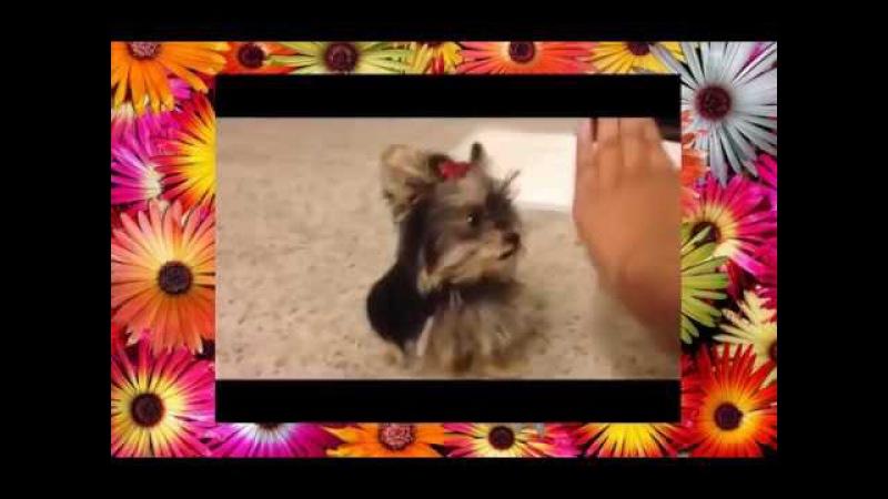 HOW TO TEACH YOUR SMARTEST PUPPY TO TRICKS 4 Misa Minnie dog playing pattycake 21 wks old