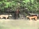 Питбули атакуют кабана. Бои животных. pit bull vs a wild boar