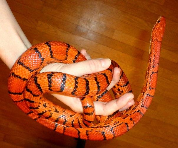 Сексовка у змей