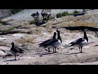 Белощекие казарки. Barnacle geese