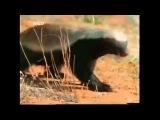Медоеду похер  на все )), уникальное животное! :-)