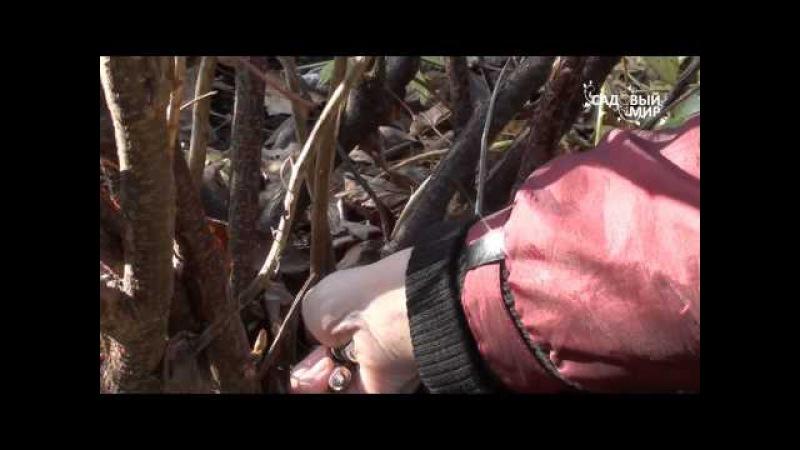 Обрезка смородины. Сайт Садовый мир