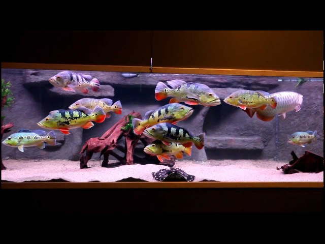 Large cichla tank and arowana