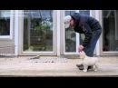 Golden retriever puppy training. Lesson1/Обучение щенка ретривера. Урок1