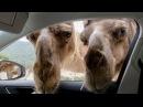 Приколы с животными 2015 часть 148 III Самые смешные животные III Смешные животные III