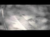 Голодная пума нападает на собаку - добермана (Hungry cougar attacks dog - doberman)