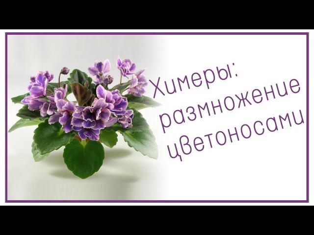 Химеры: размножение цветоносами