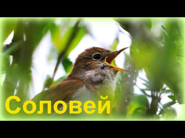 Несравненный Соловей Nightingale Singing