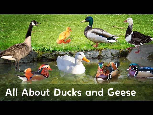 Quack Honk Learn all about Ducks and Geese in this educational video