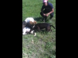 Собачьи бои питбуль Босс 1.1 год vs САО алабай