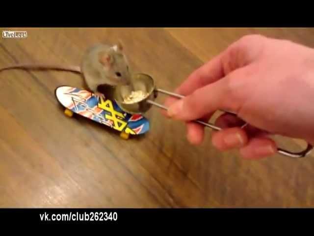 Смышленый крысеныш! :-)