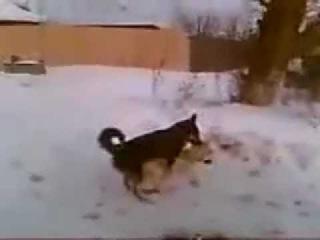 Собака трахает мертвую собаку. Никрофилия