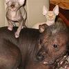 Помощь голым собакам и кошкам. СПб