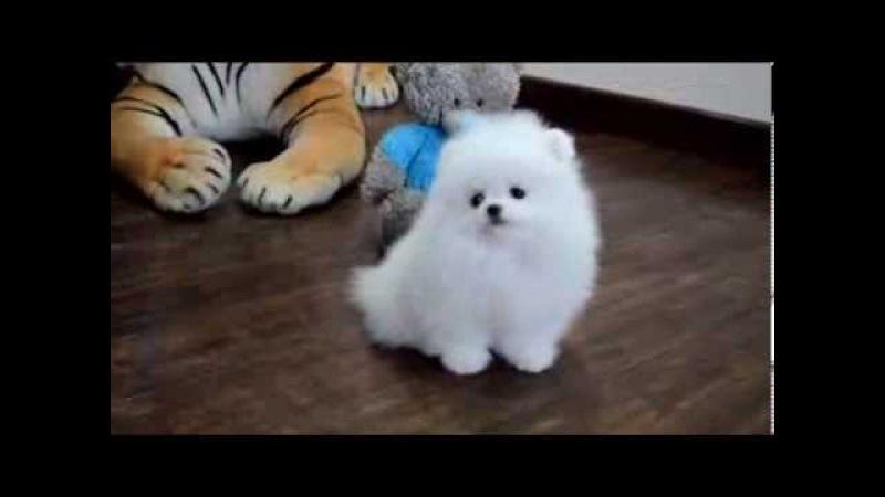 Белый щенок померанского карликового шпица! White puppy Pomeranian Dwarf!