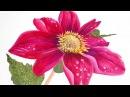 Watercolor Flower Series 6 Just one petal