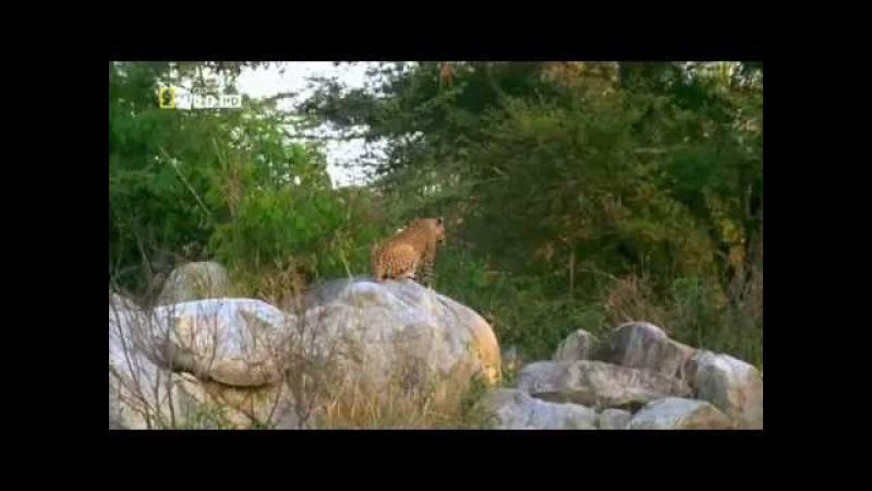 Питон сжирает детёныша леопарда, а потом выплёвывает его!