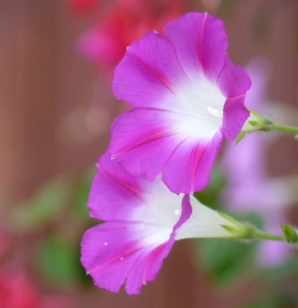 С Добрым утром!!! Ипомеи расцветают на рассвете, за что и получили английское название 'morning glory' - 'утренняя слава'.