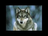 Юрий Самарский Схватка с волками