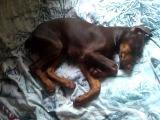 Спящий доберман