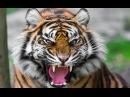 Животные Людоеды Тигры
