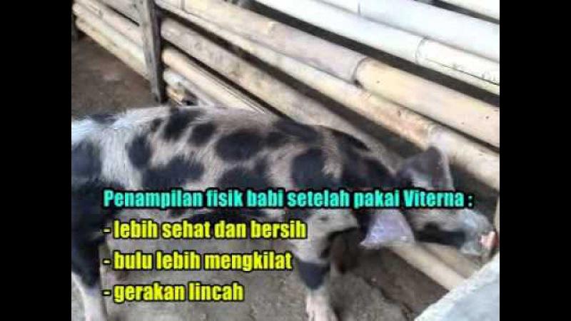 Teknik Budidaya Babi 087838967089 Ternak Babi dengan Nutrisi Babi