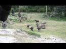 Домашние мини-буйволы шугают тигра