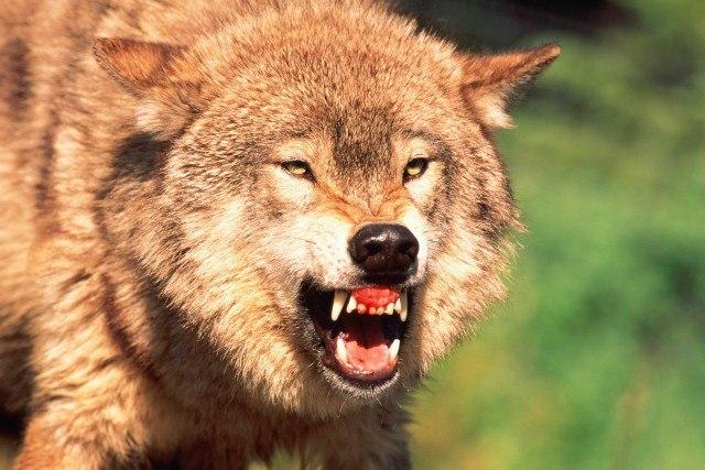 В Ростовской области взбесившаяся волчица покусала троих человек