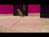 Попугай злобно хохочет.