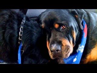 Ротвейлер оплакивает умершего брата близнеца. Crying Rottweiler Grieves For Dead Brother. Animals Do Have Emotions