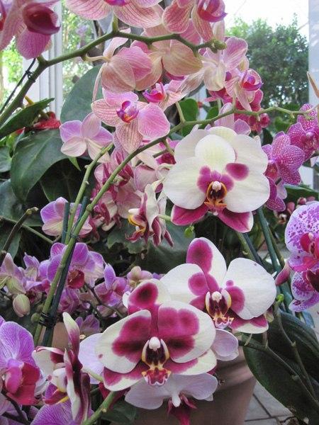 Фаленопсис - орхидея для начинающих, важные моменты в уходе за орхидеями