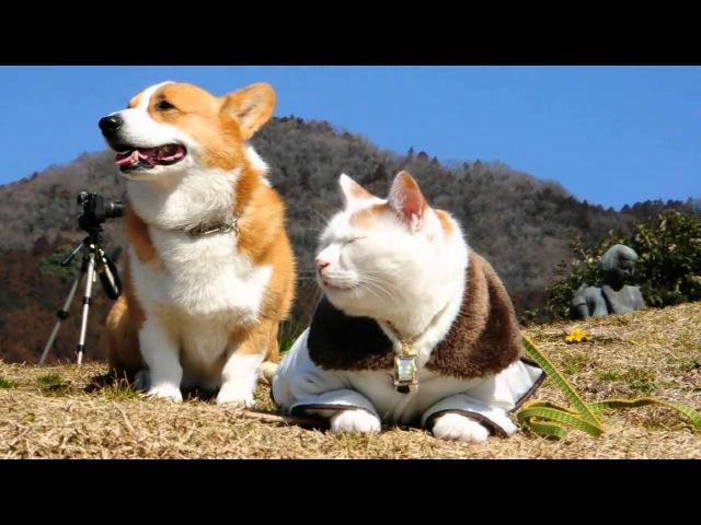 Goro Cat 猫とコーギー Goro@Welsh corgi dog にゃんこ 犬 わんこ