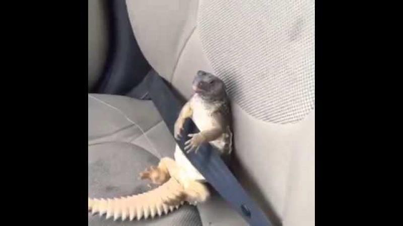 ضب يركب سيارة ويربط حزام الأمان