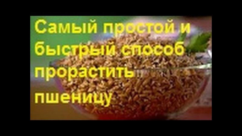 Самый простой и быстрый способ прорастить пшеницу