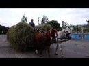 Коні везуть сіно