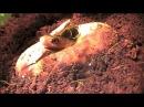 Papuan taipan (oxyuranus scutellatus canni) hatching