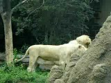 Philadelphia Zoo White Lioness With Mane and Male Lion