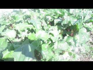 Большой урожай на высоких грядках