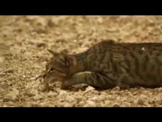 Как кот охотится. Интересное видео дикий мир и поведение животных в нем