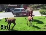 Мама-лось и два лосёнка играют на газоне возле поливалки / Mama and calves cooling off / Candice Helm in Eagle River, Alaska