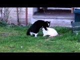 Сексуально озабоченный кролик пристает к коту. Спаривание животных. Прикол!