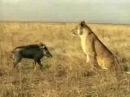 Wild Pig vs Lion Pig Attacks Lion Wild Animal Attacks