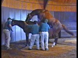 Лошадиный секс по Американски. Sex Horses in Heat Pairing. Спаривание лошадей