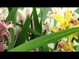 №4.  Успешный цветовод. Цимбидиум - Орхидеи. Краткий обзор . Как ухаживать.