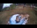 Прикол. пенная вечеринка для тигров