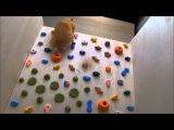 ハムスターのフリーソロクライミング My Hamster=Free Solo Climber