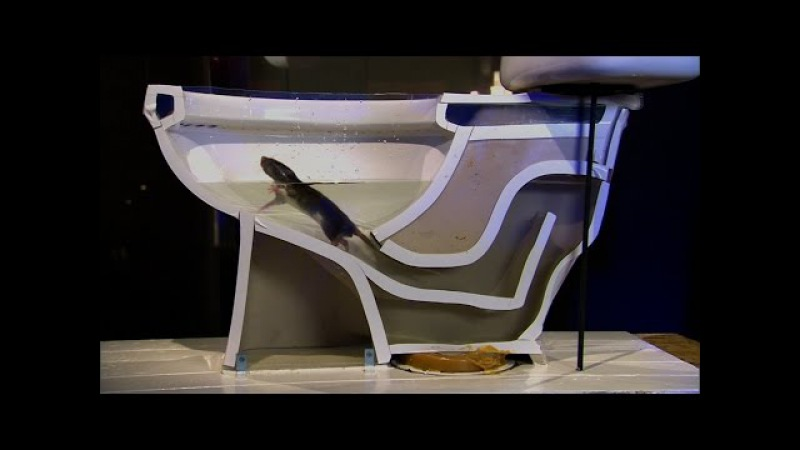 See How Easily a Rat Can Wriggle Up Your Toilet National Geographic