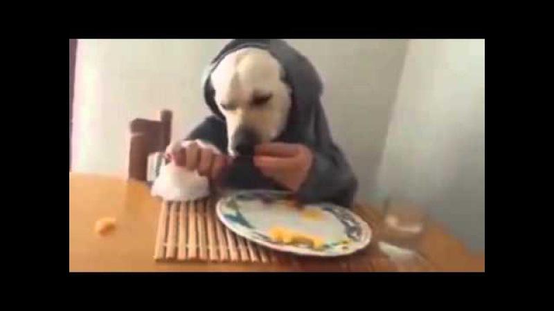 Собака, которая ест из тарелки за столом, как человек