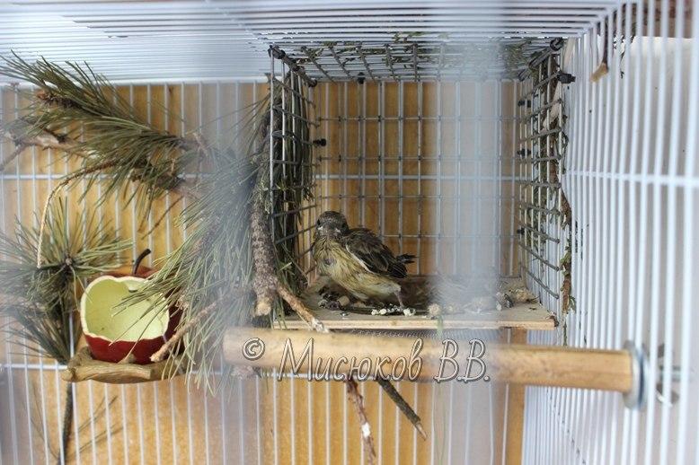 Фотографии моих птиц  - Страница 2 GSKKUHPO5u0
