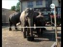 По улицам слонов водили! 2014-09-11